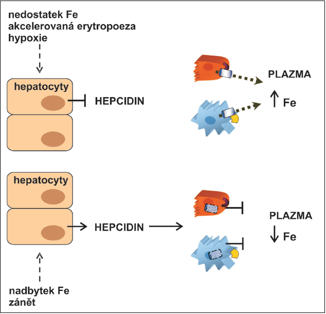 Regulace systémové homeostázy železa (Fe) hepcidinem.