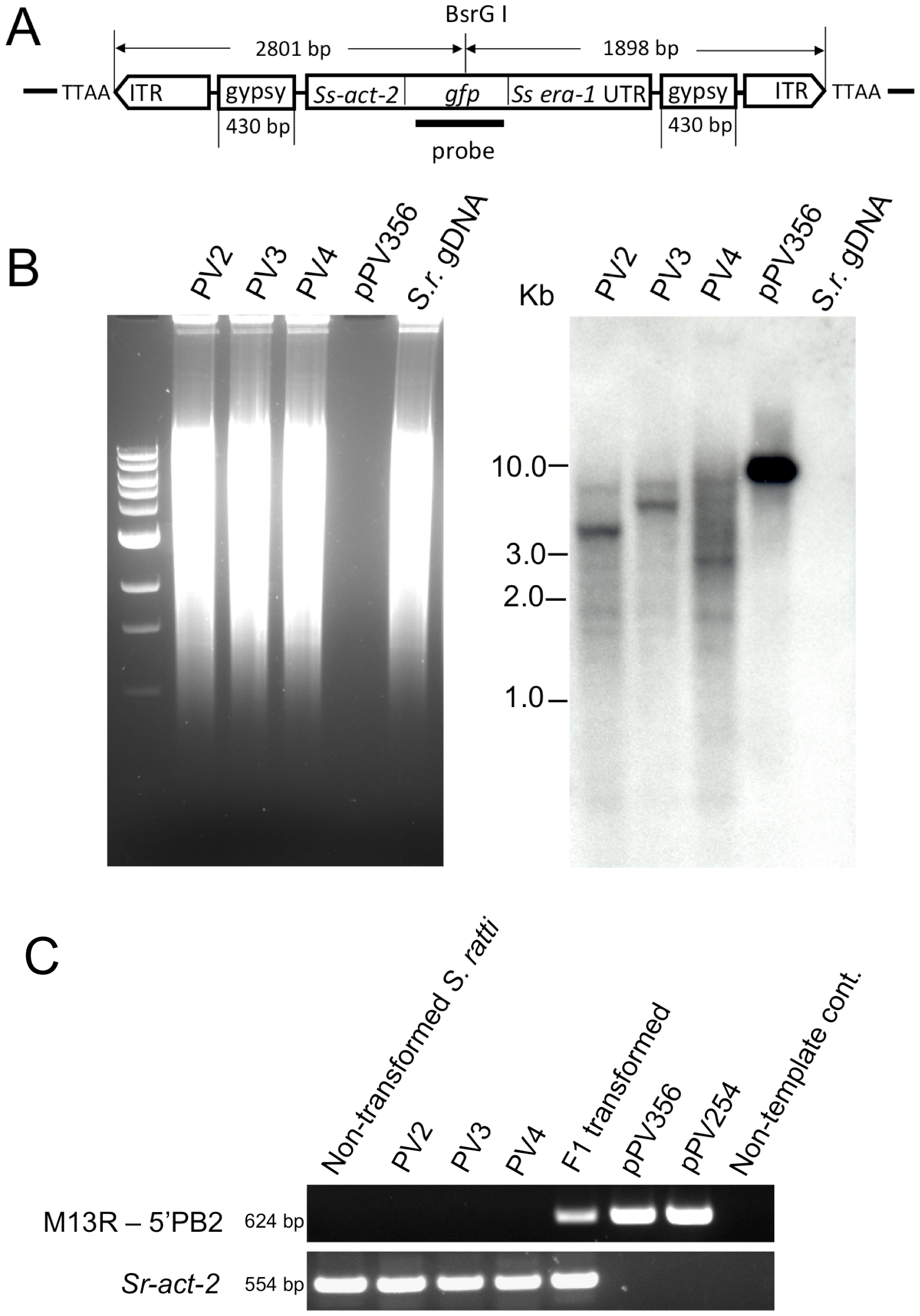 Transgene specific sequences are widely distributed in restriction digests of genomic DNA from three stable lines of transgenic <i>S. ratti</i>.