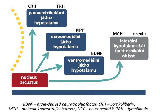 Přehled jader a jejich hlavních neuromediátorů, které se uplatňují v regulaci příjmu potravy [8].