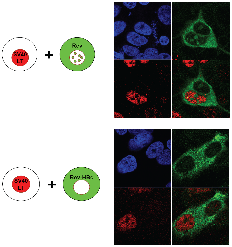 Homokaryon analysis demonstrated that HBc ARD domain (HBc 147–183) can act like a cytoplasmic retention signal (CRS) by inhibiting nuclear import of Rev of Huh7 cells.