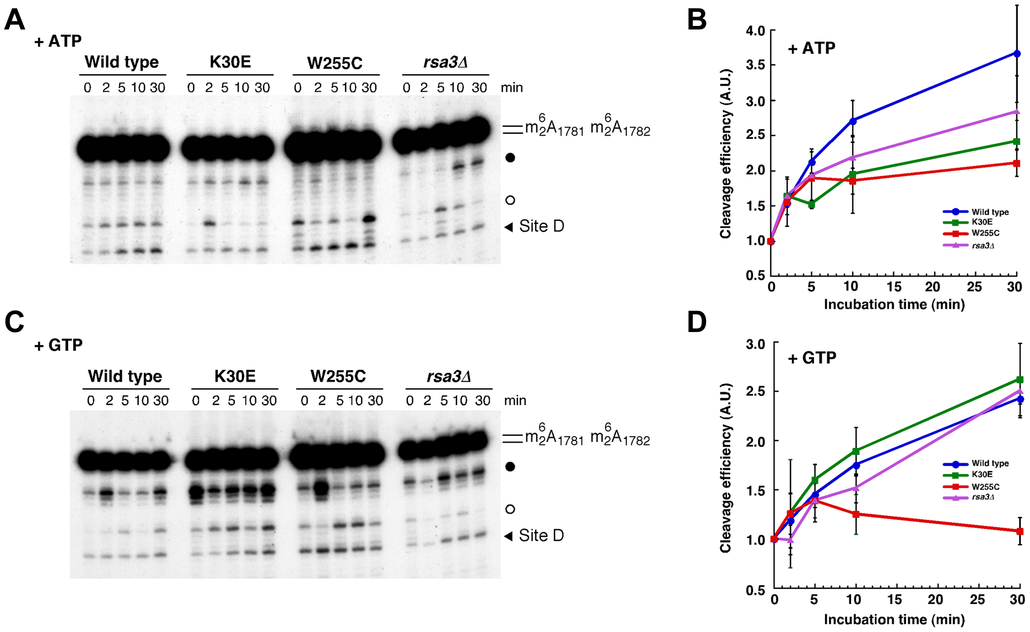 <i>In vitro</i> processing of 20S pre-rRNA is impaired in the <i>rpl3</i>[W255C] mutant.