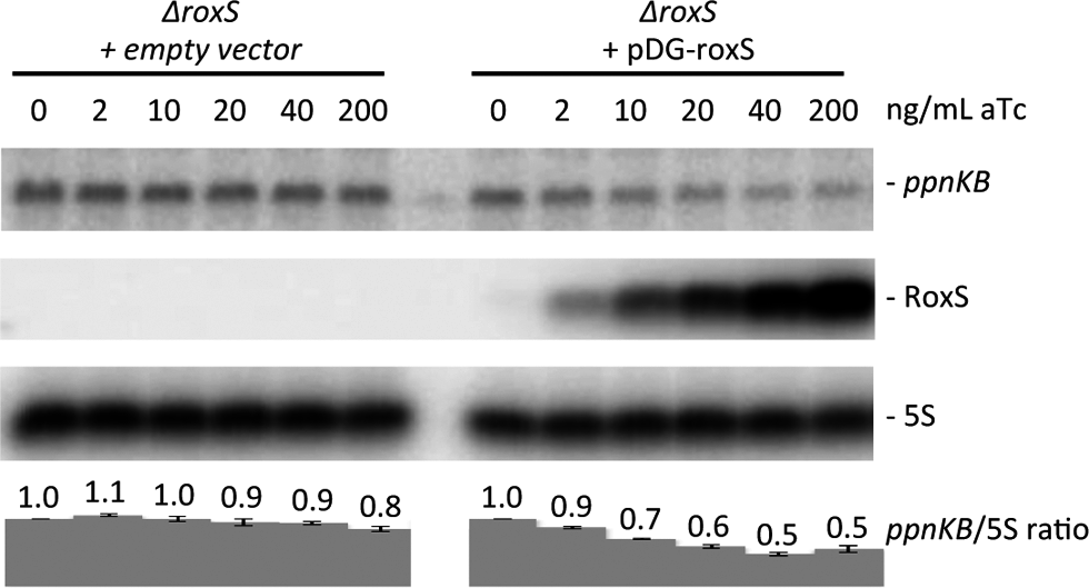 Induction of RoxS leads to decreased <i>ppnKB</i> mRNA levels. Northern blot showing decreased <i>ppnKB</i> mRNA levels upon RoxS induction.
