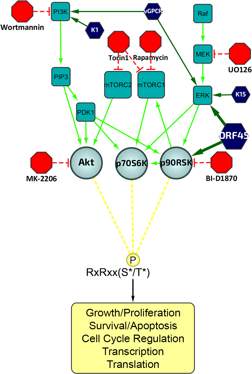Diagram of the upstream signaling pathways that converge on activation of AGC kinases.