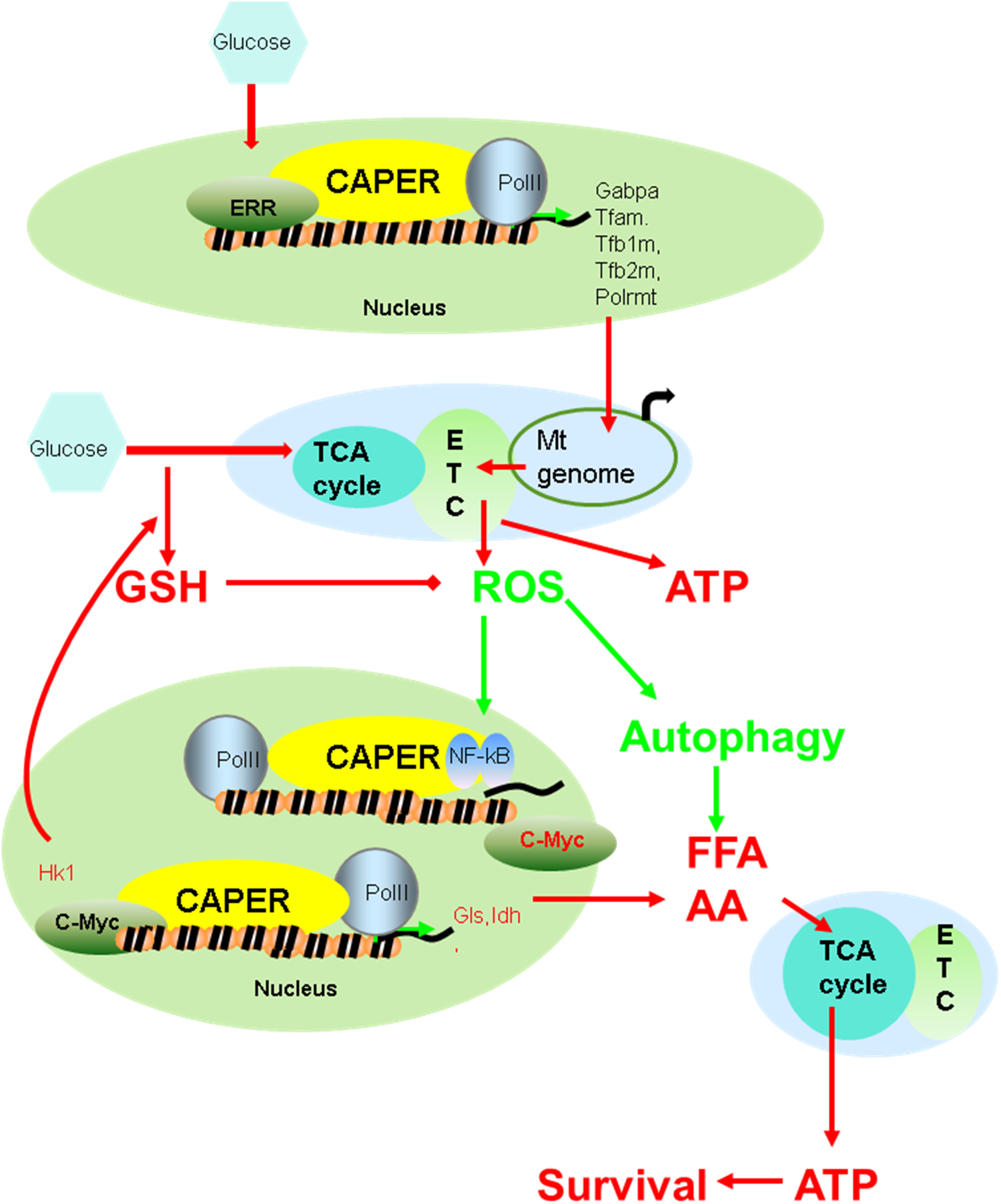 A schematic model suggesting how CAPER functions.