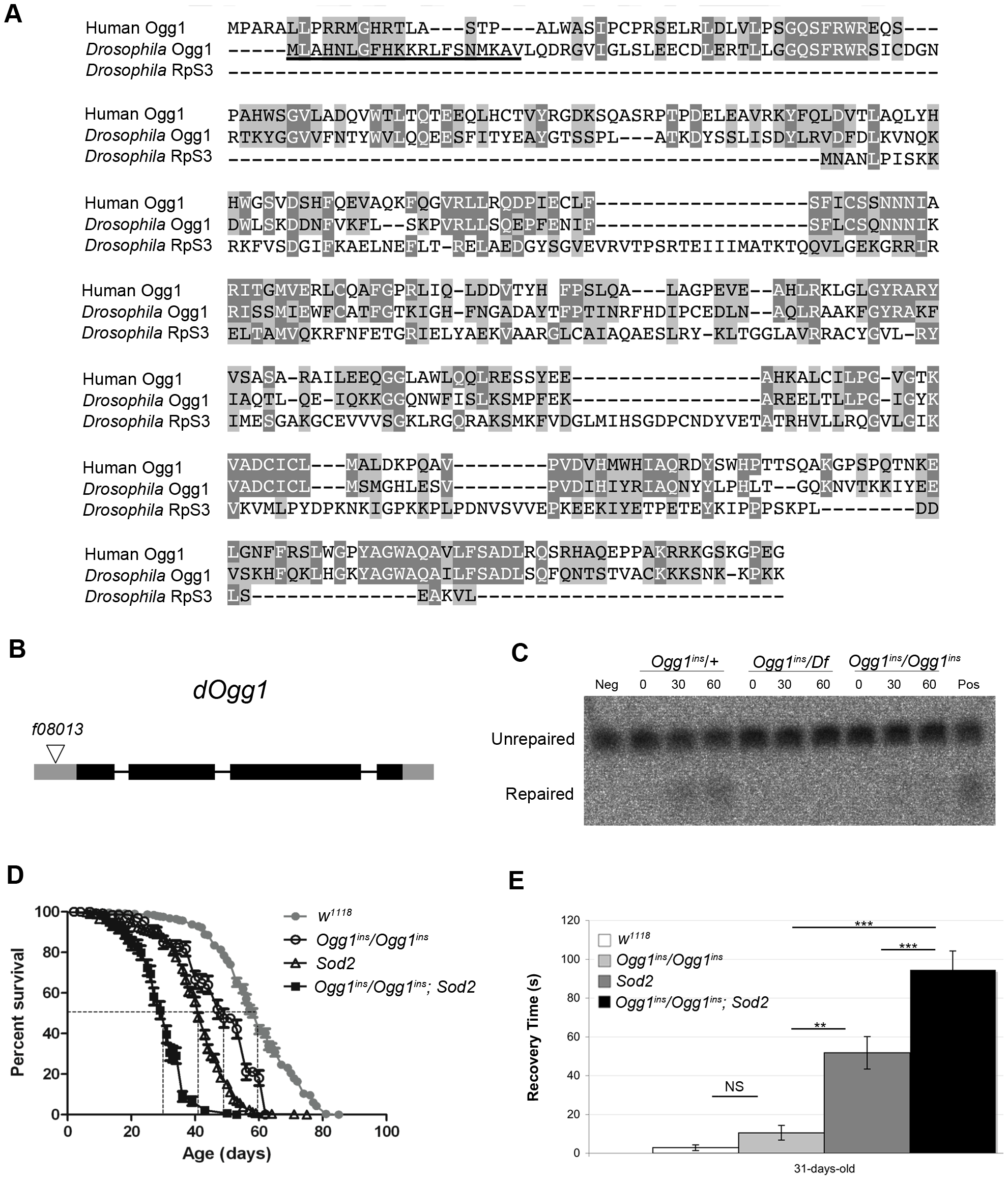 An <i>Ogg1</i> mutation diminishes Ogg1 activity and interacts genetically with <i>Sod2</i>.