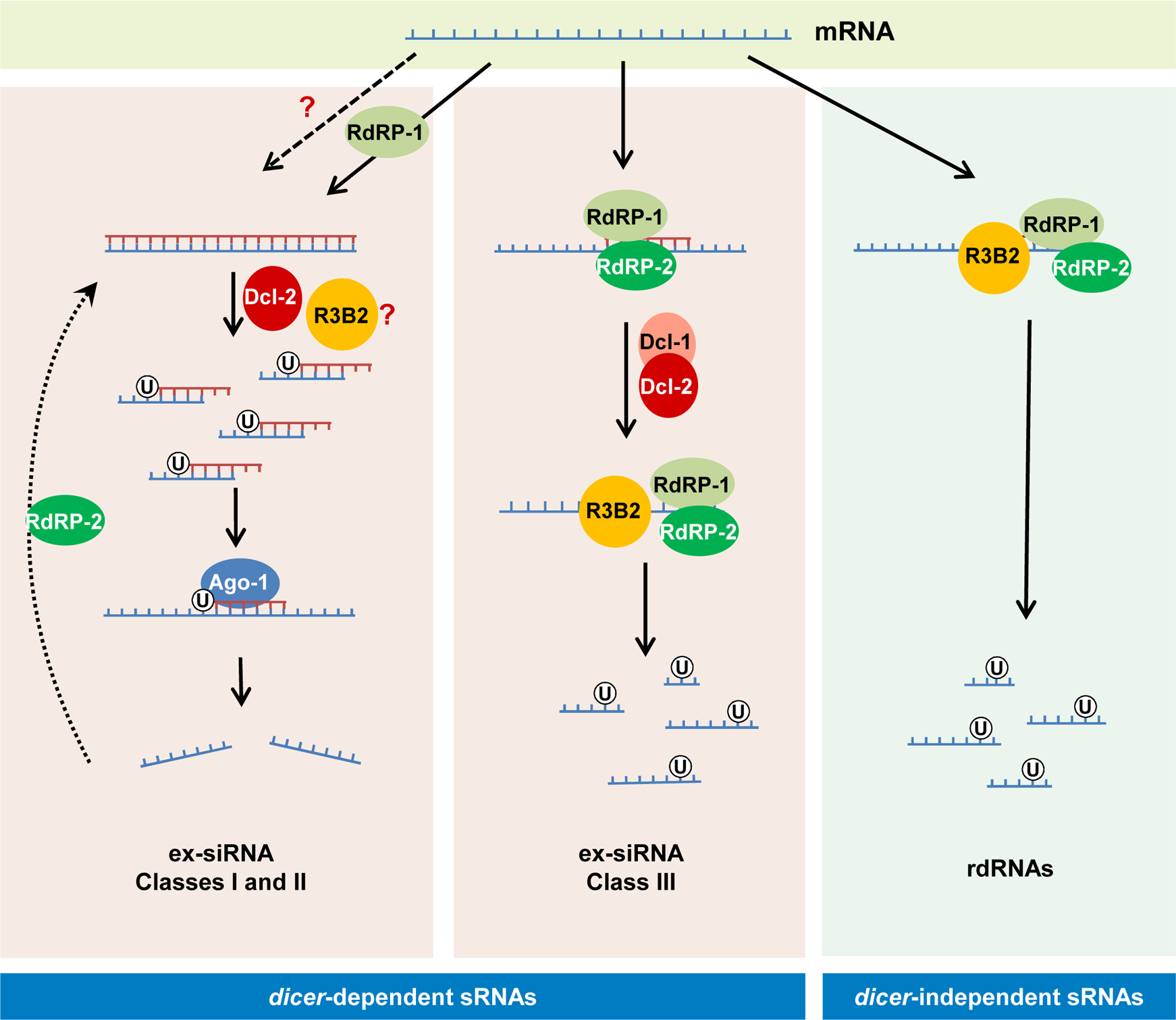 Models for production of the different classes of endogenous sRNAs in <i>M</i>. <i>circinelloides</i>.