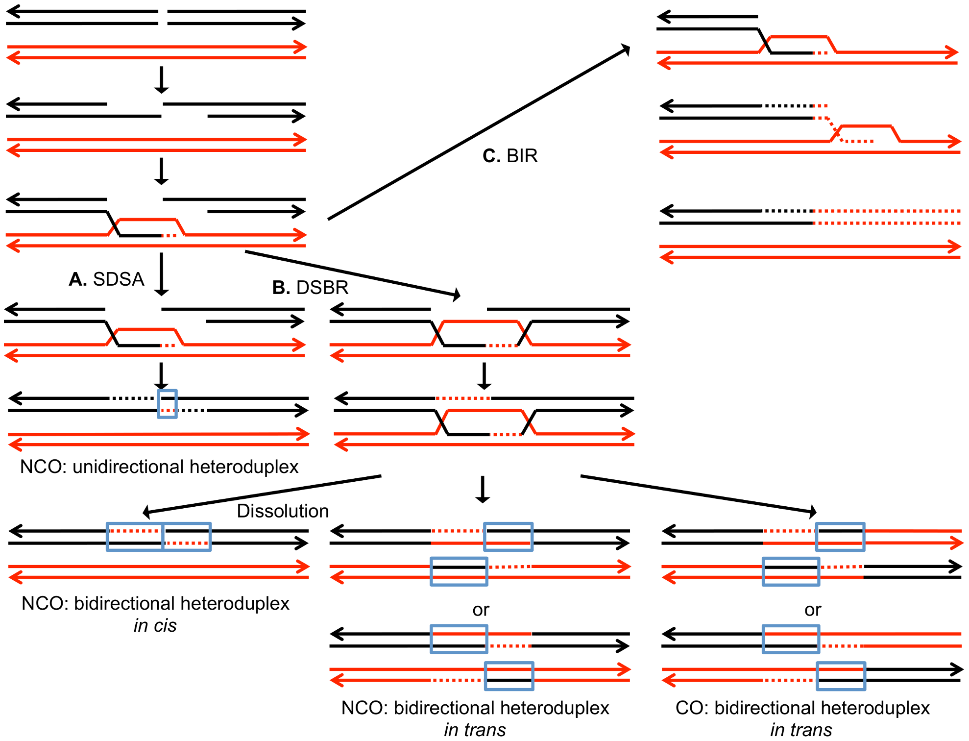 Mechanisms of homologous recombination.