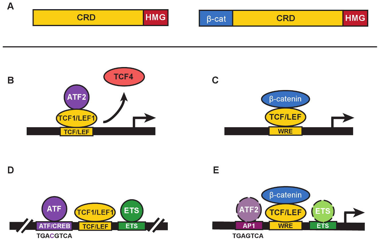 β-catenin–independent and –dependent modes of Wnt signaling.