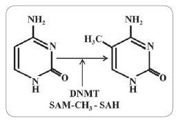 Schematické znázornění metylace cytosinu na uhlíku 5 katalyzované DNA- metyltransferázami (DNMT).