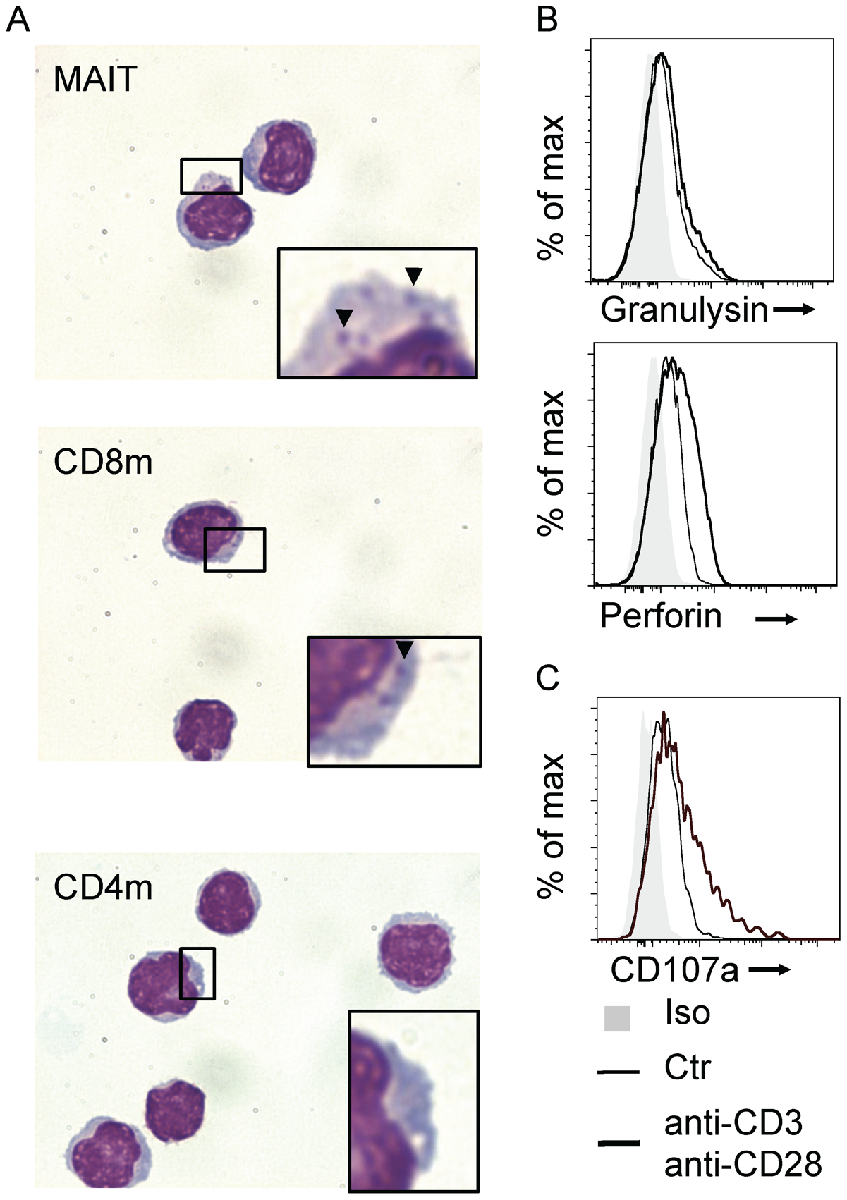 Human MAIT cells have a cytotoxic potential.
