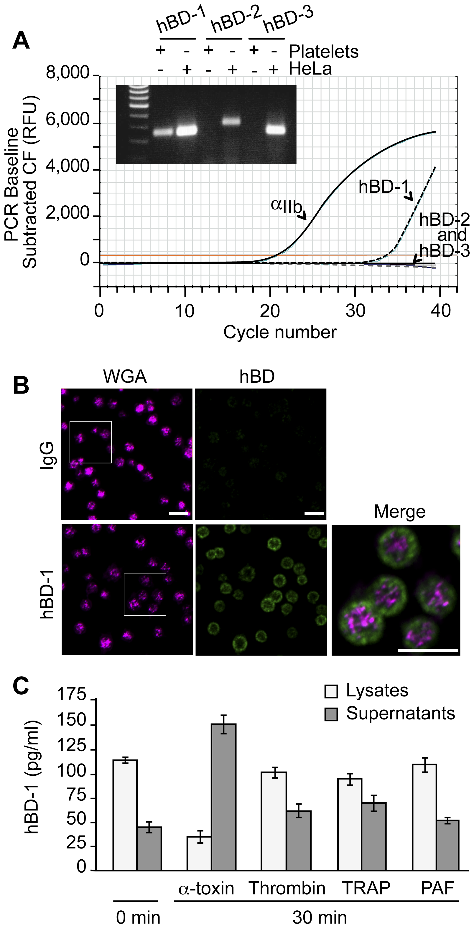 Platelets express and release β-defensin 1 in response to α-toxin.