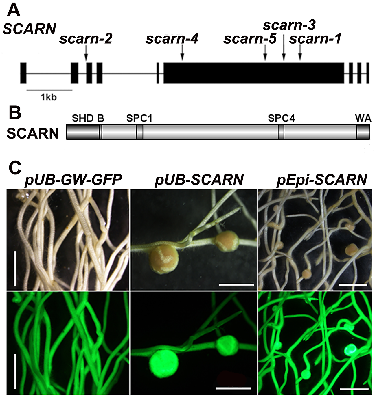 <i>SCARN</i> gene and protein structure and complementation of <i>scarn-1</i>.