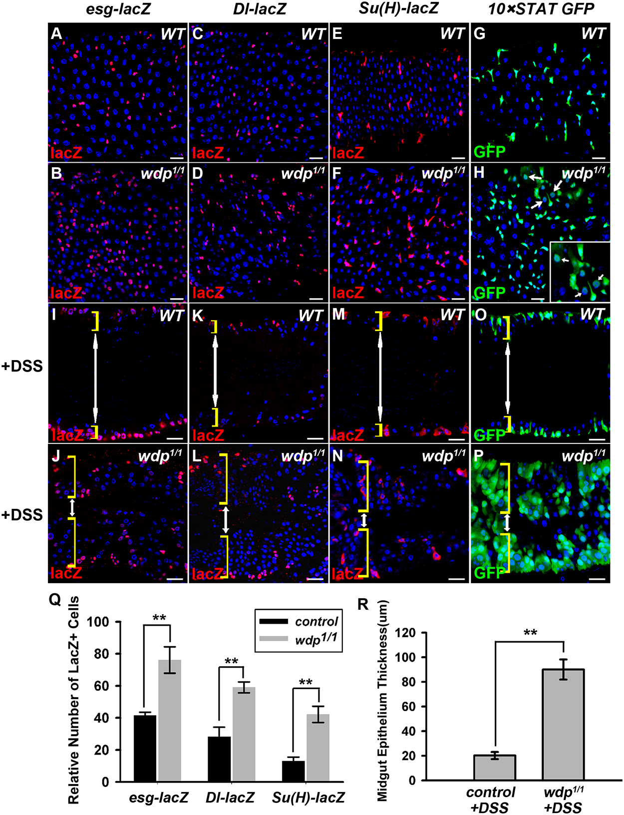 Loss of <i>wdp</i> disrupts midgut homeostasis under normal conditions and potentiates DSS-induced midgut regeneration.