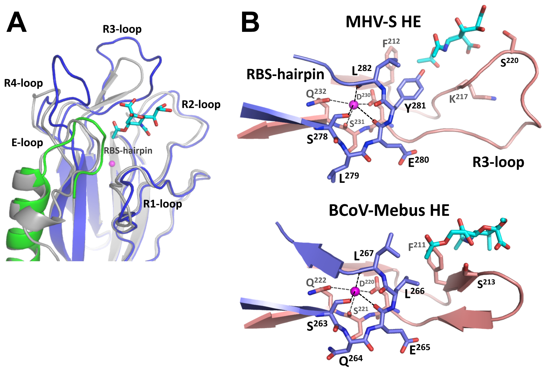 Comparison of the MHV-S and BCoV-Mebus HE receptor binding sites.