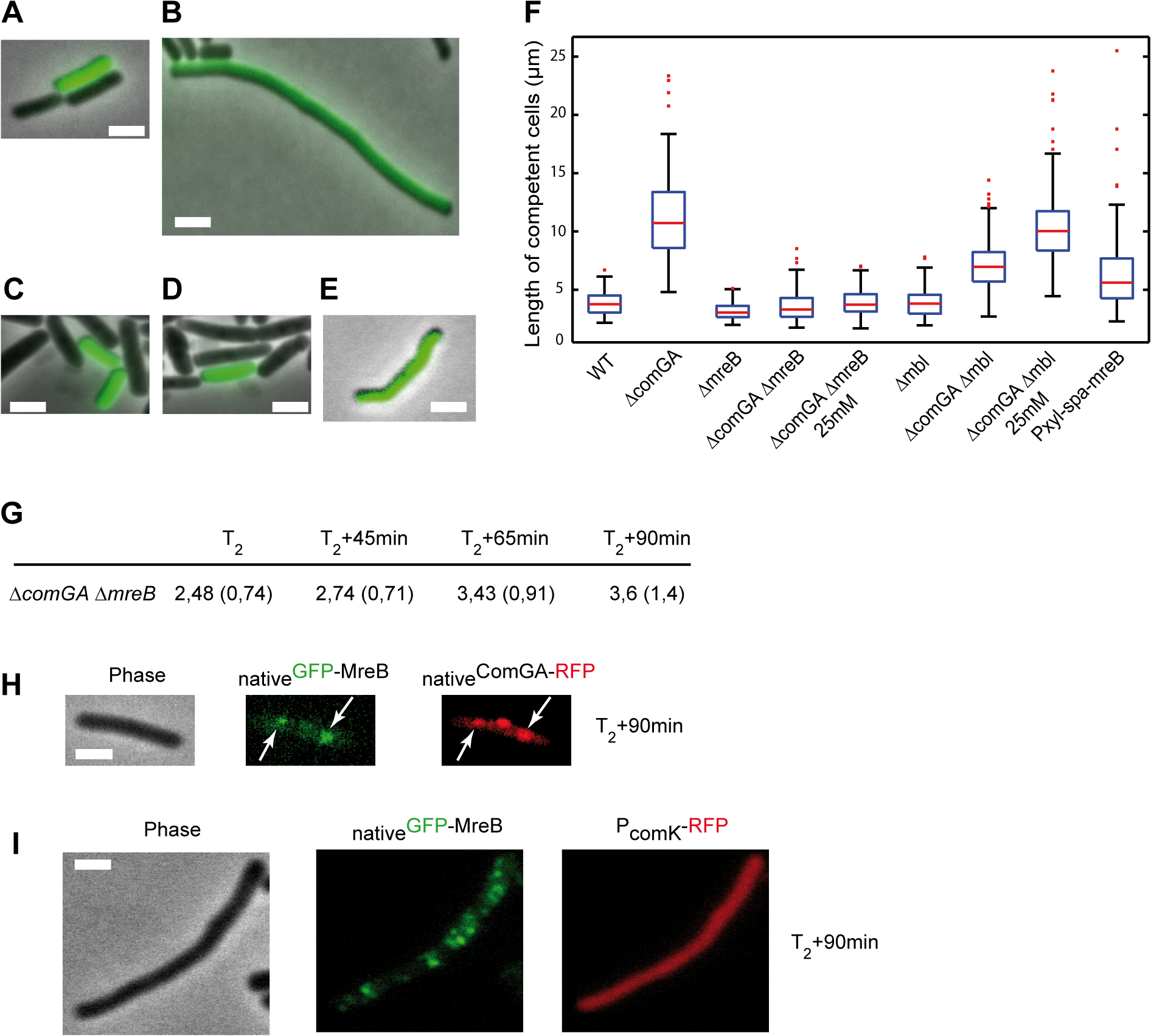 ComGA inhibits elongation during the escape from competence through MreB.