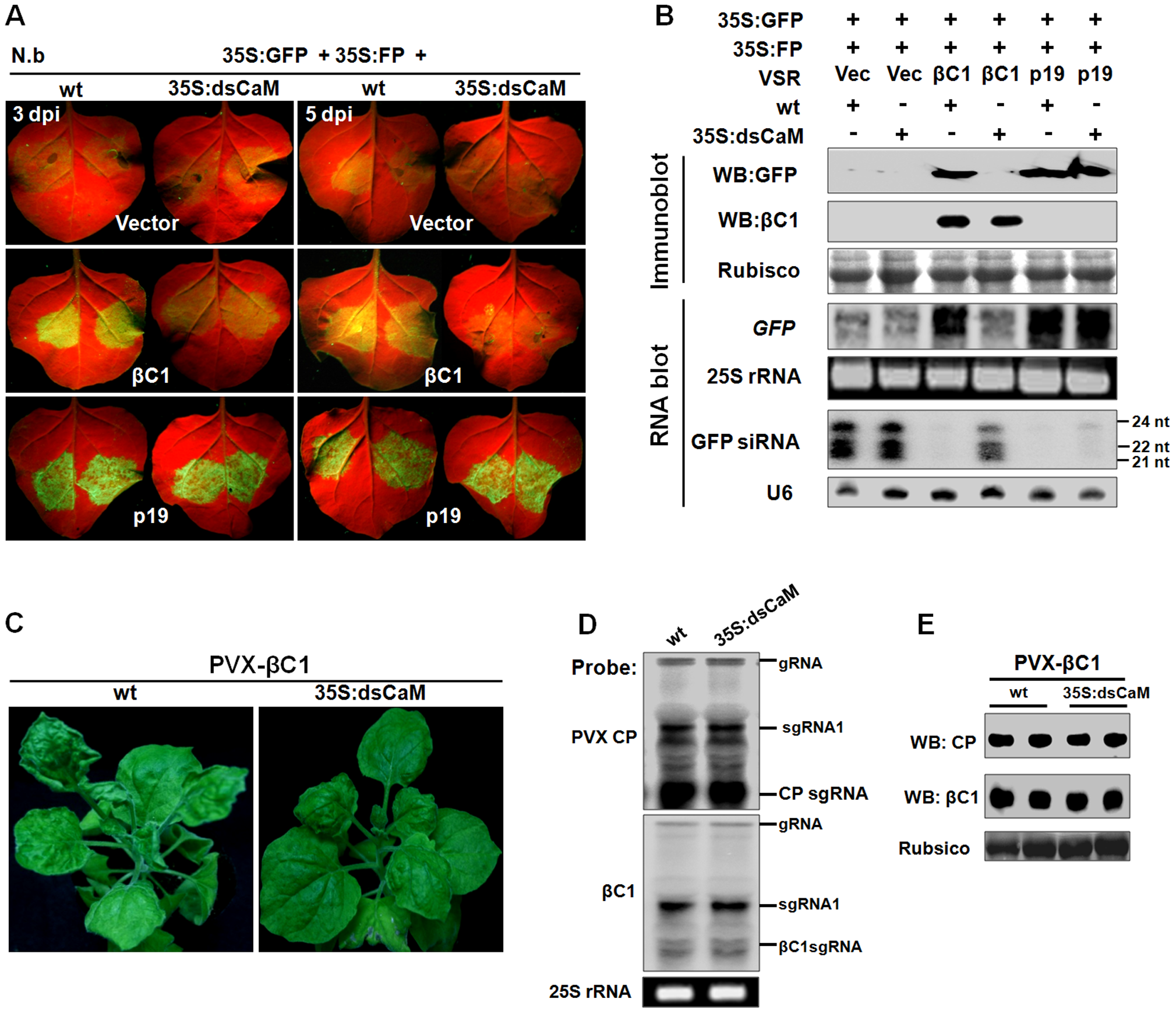 <i>Nbrgs-CaM</i> is genetically required for the functions of βC1 in PTGS suppression and symptom modulation.