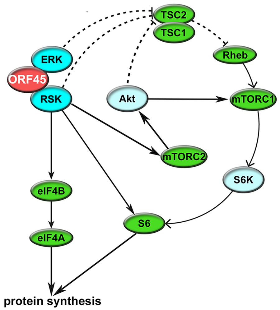 Summary of the mechanisms by which KSHV ORF45 manipulates ERK/RSK signaling to regulate translation.