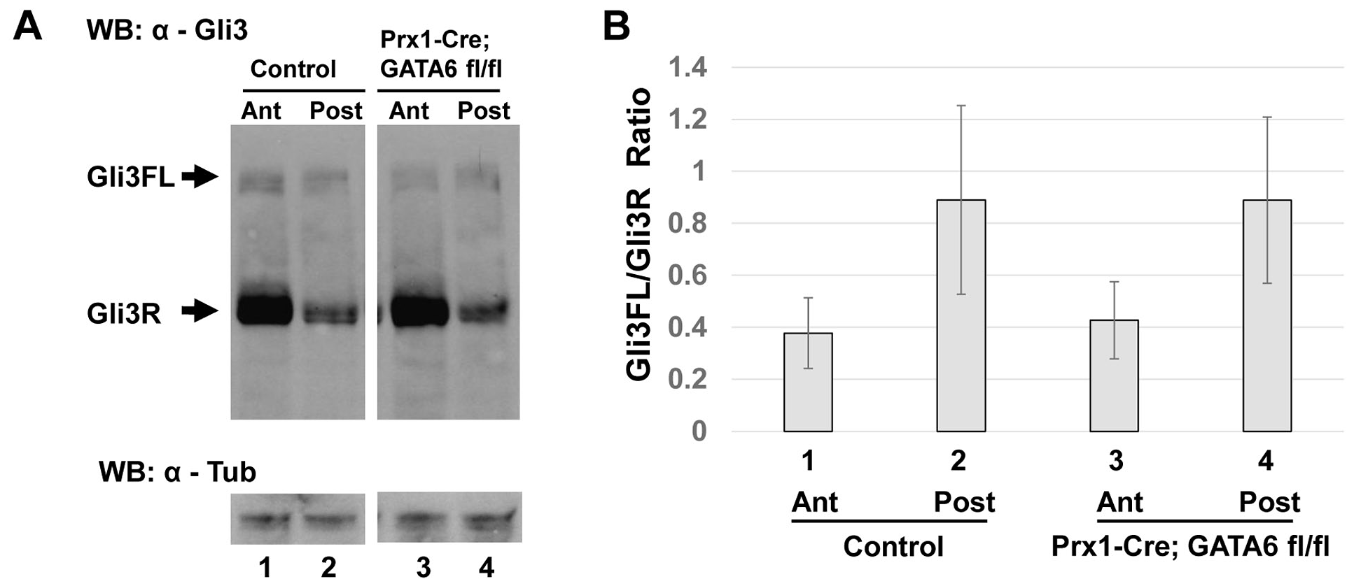Conditional deletion of <i>GATA6</i> does not significantly alter Gli3 processing in the hindlimb bud.