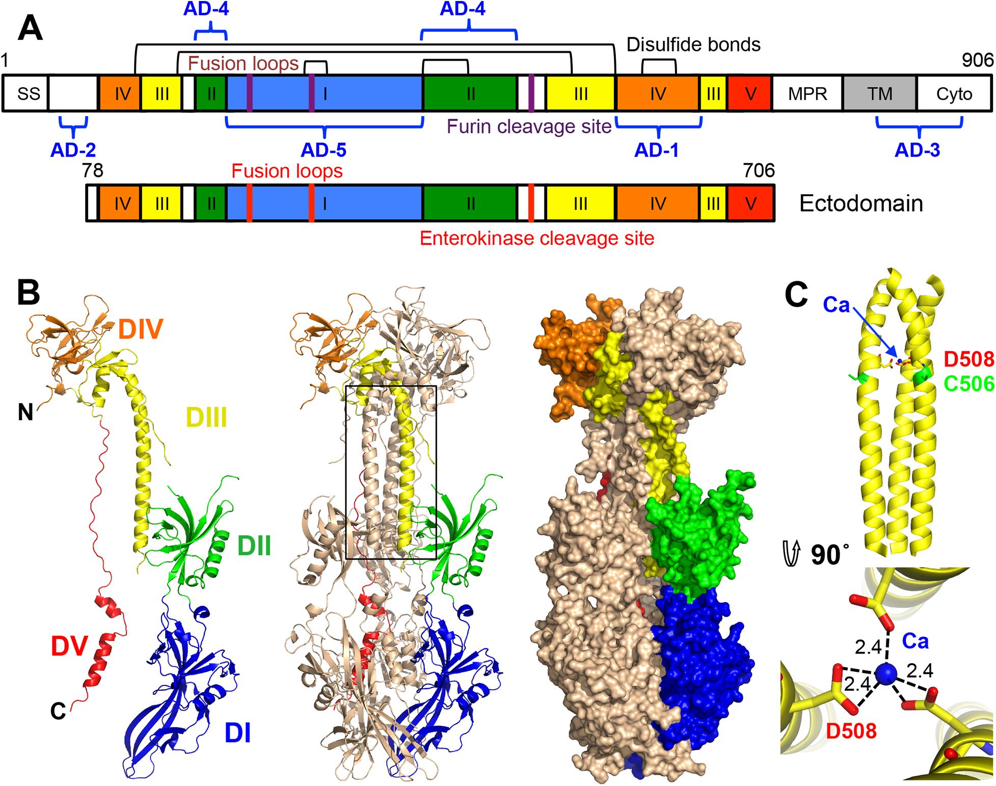 HCMV gB ectodomain structure.