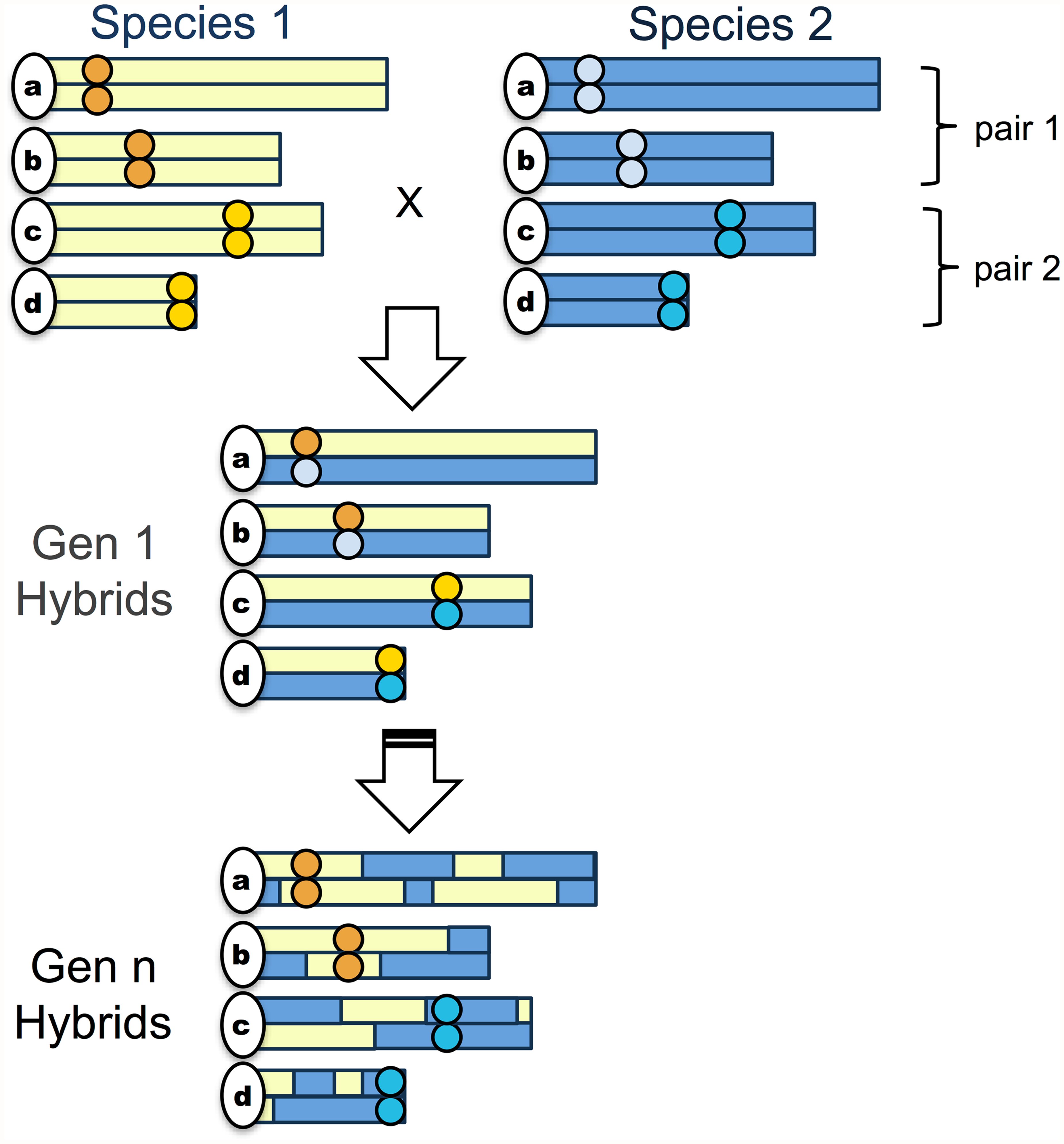 "Schematic of the simplest ""hybrid speciation by genetic incompatibility"" scenario."