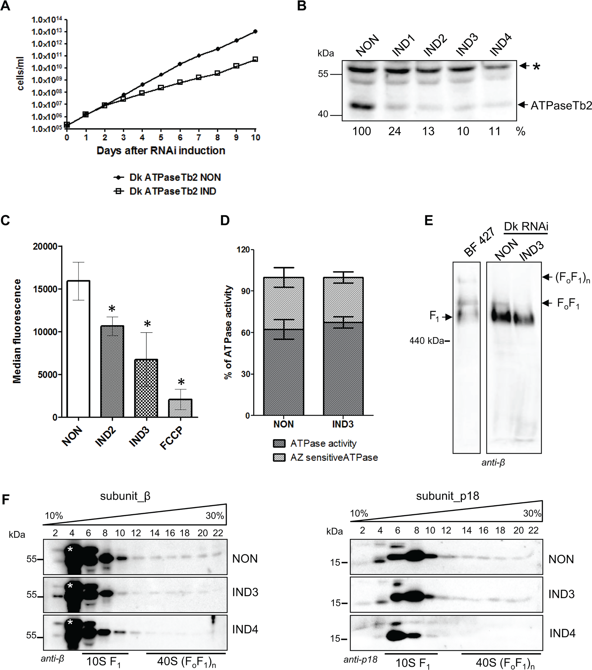 Cell growth, Δψ<sub>m</sub> maintenance and the stability of FoF1-ATPase complexes are all affected by the loss of ATPaseTb2 in dyskinetoplastic <b><i>T.b. evansi</i></b>.