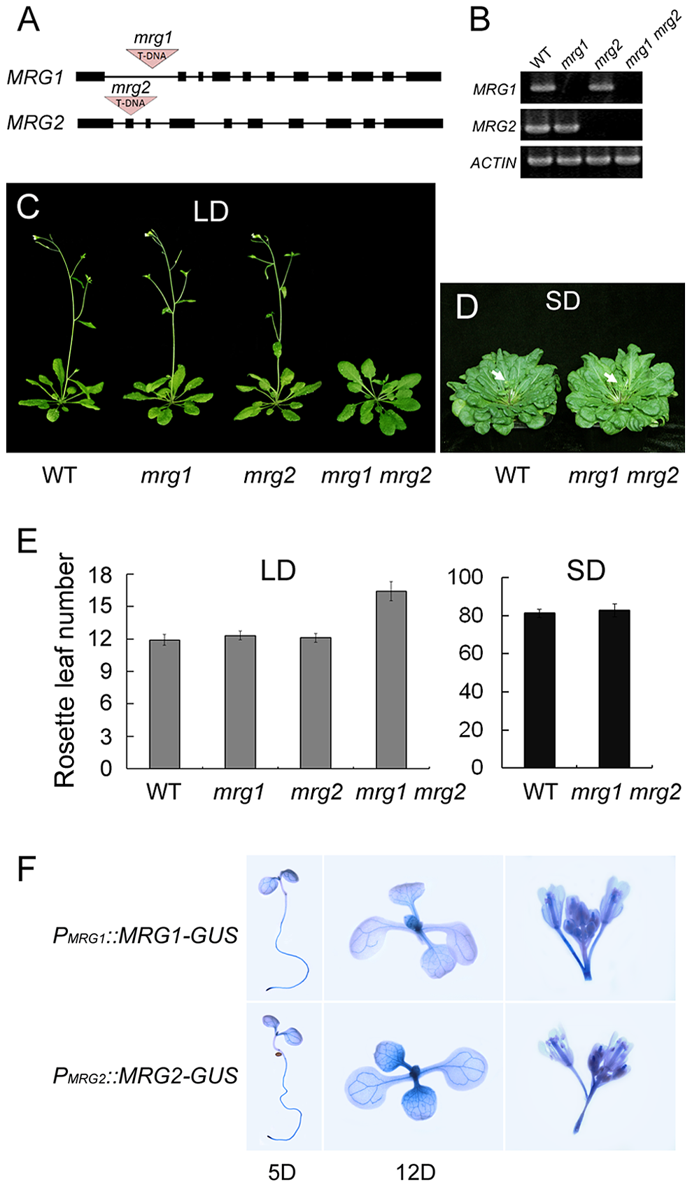 MRG1 and MRG2 act redundantly in flowering time control of <i>Arabidopsis</i> in the photoperiodic flowering pathway.