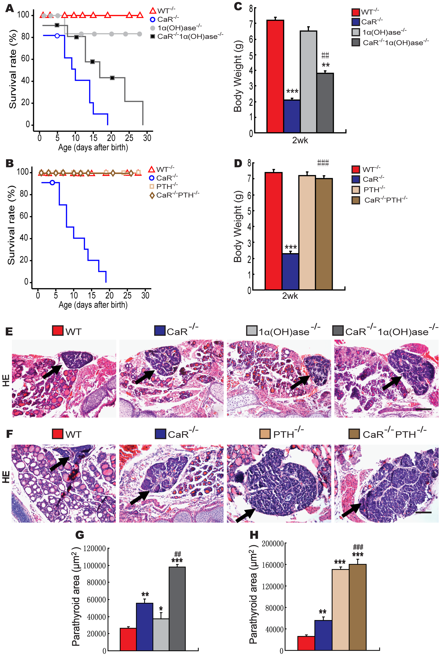 Effects of deletion of 1α(OH)ase or PTH on lifespan, body weight, and parathyroid gland size in CaR–deficient mice.