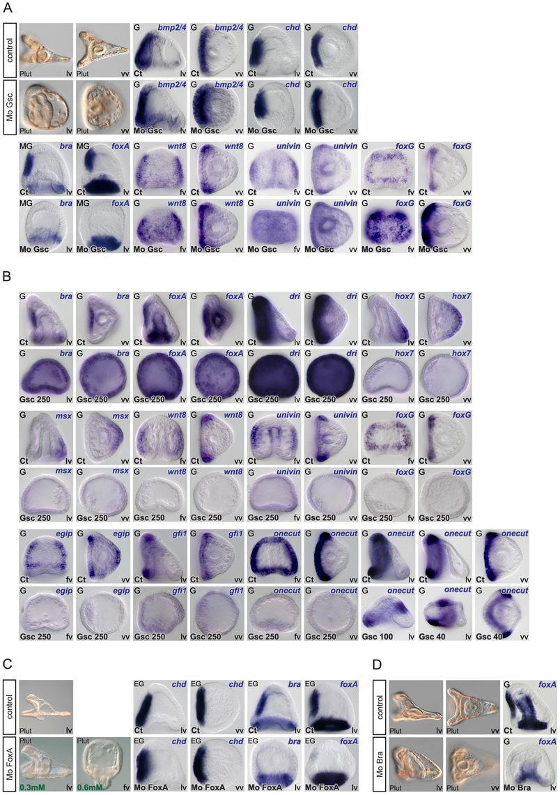 Epistasis analysis of ventral genes: goosecoid as a key regulator of <i>brachyury</i> and <i>foxA</i> expression and a repressor of ciliary band genes.