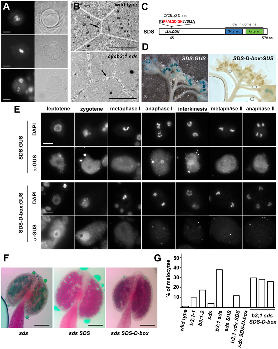 Cyclin SDS contributes to suppressing ectopic cell wall-like structures.