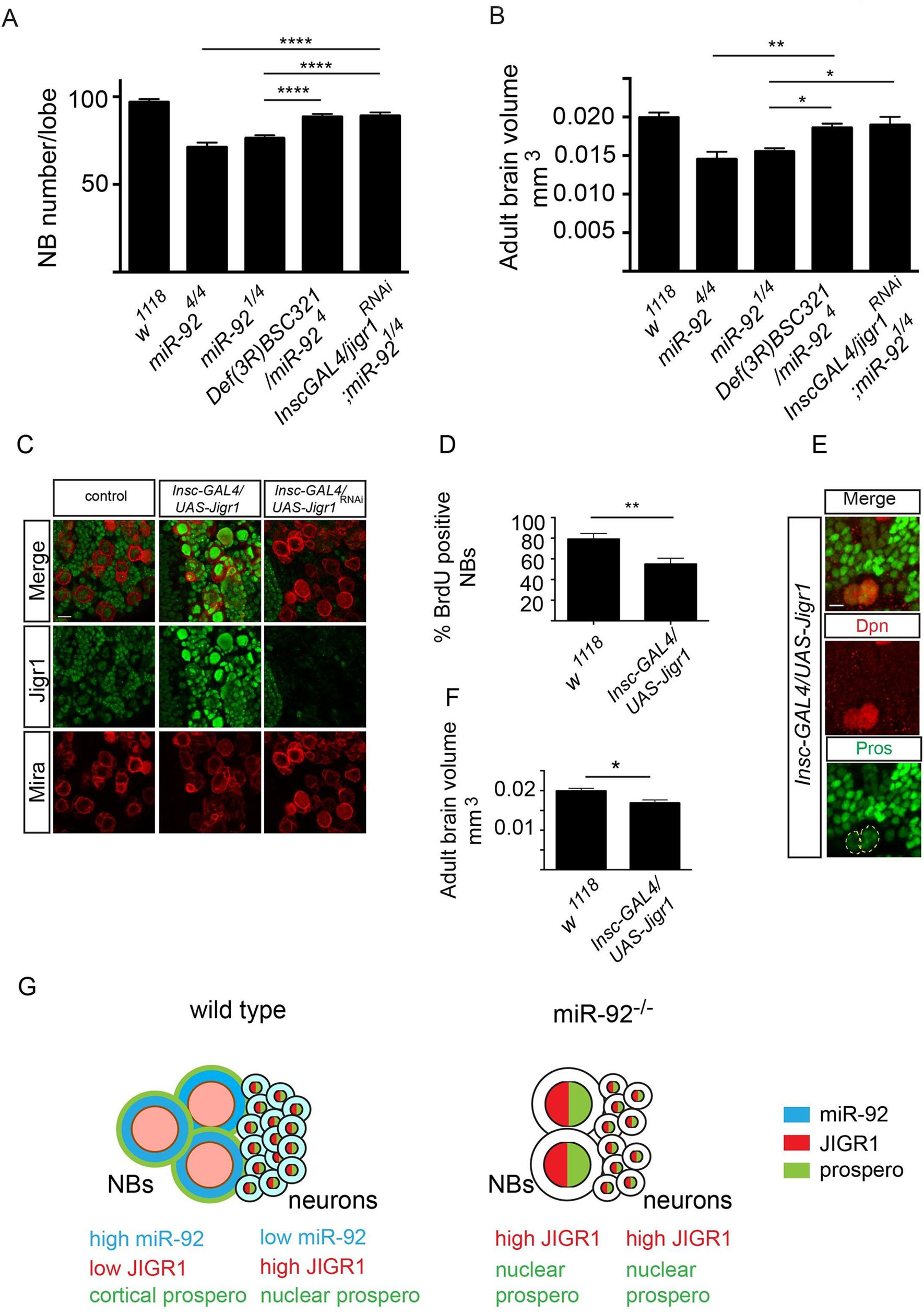 <i>Jigr1</i> upregulation is responsible for premature neuroblast differentiation in <i>miR-92</i><sup><i>–/–</i></sup> flies.