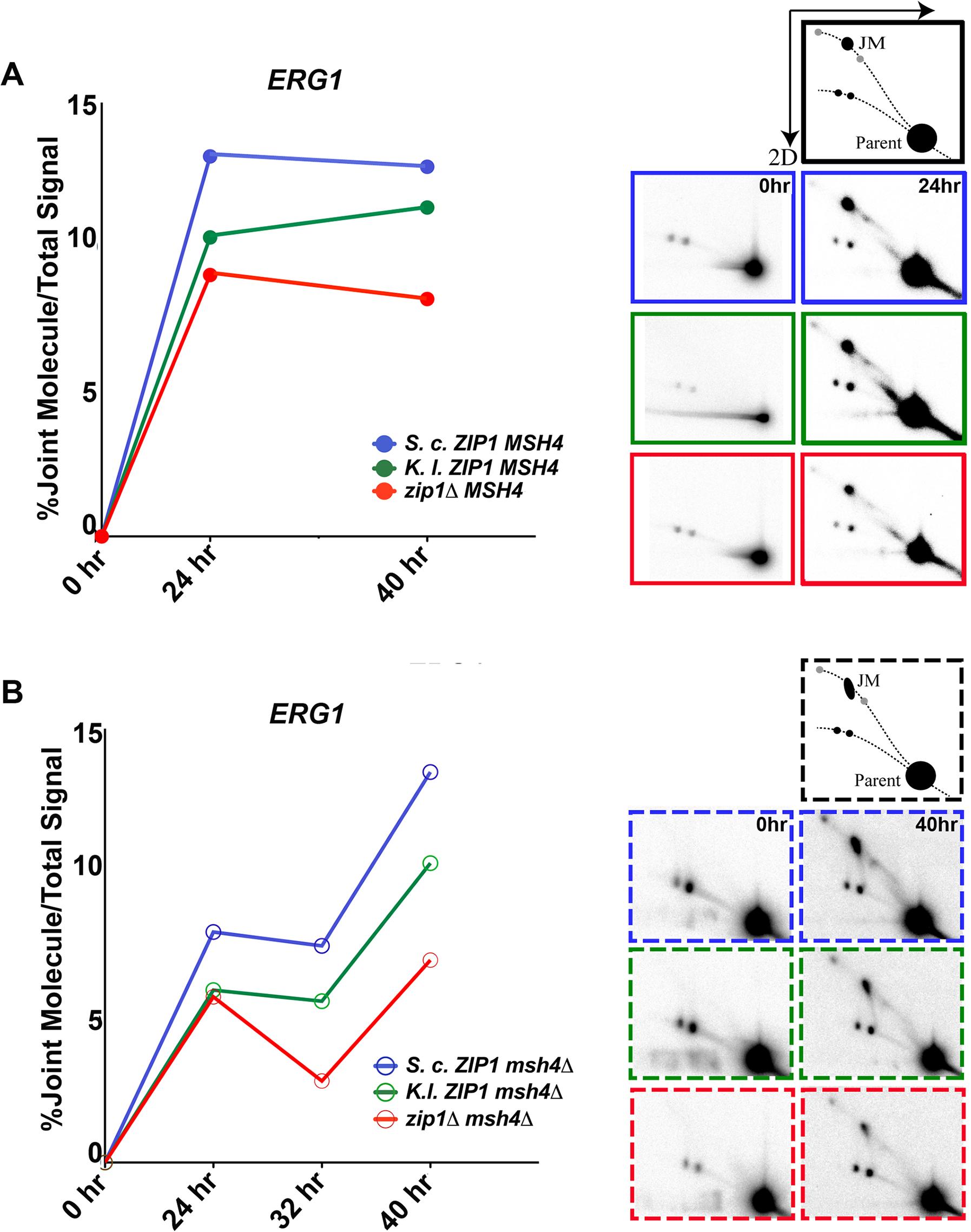 <i>S</i>. <i>c</i>. Zip1 and <i>K</i>. <i>l</i>. Zip1 promote Msh4-independent JM formation in <i>S</i>. <i>cerevisiae</i> meiotic cells.
