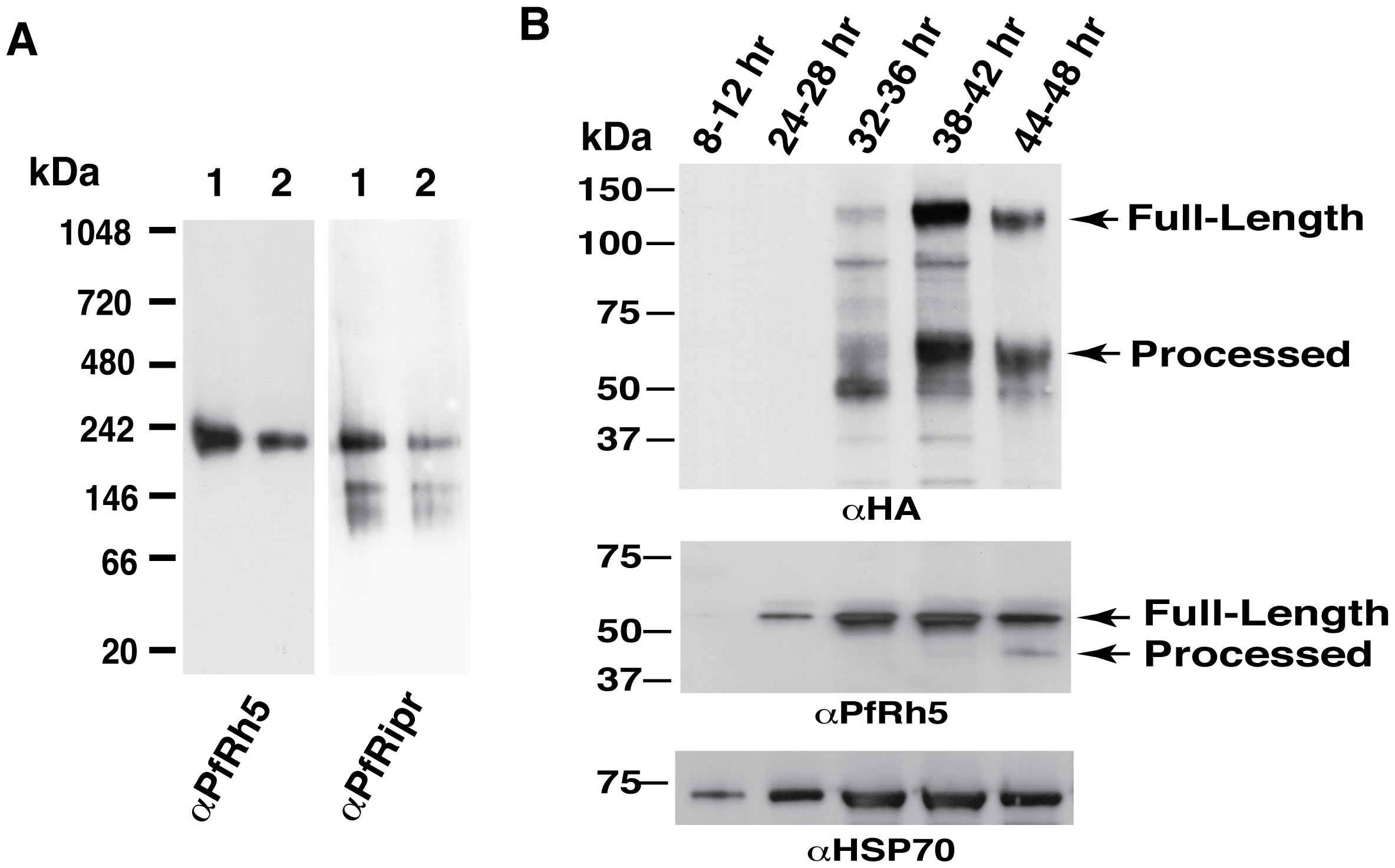 Protein expression patterns of PfRh5 and PfRipr are consistent with the complex formation.