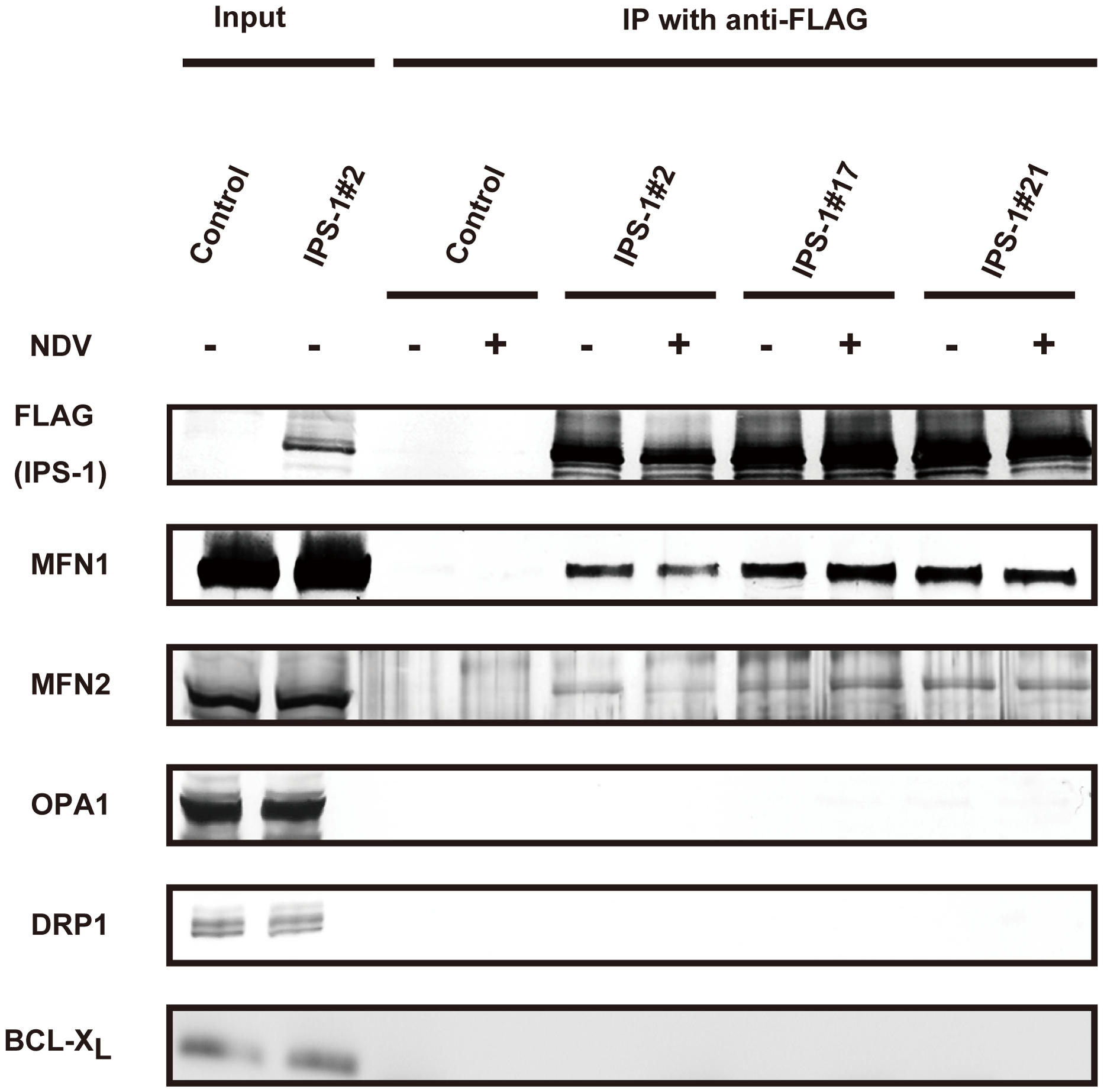 IPS-1 interacts with MFN1 and MFN2.