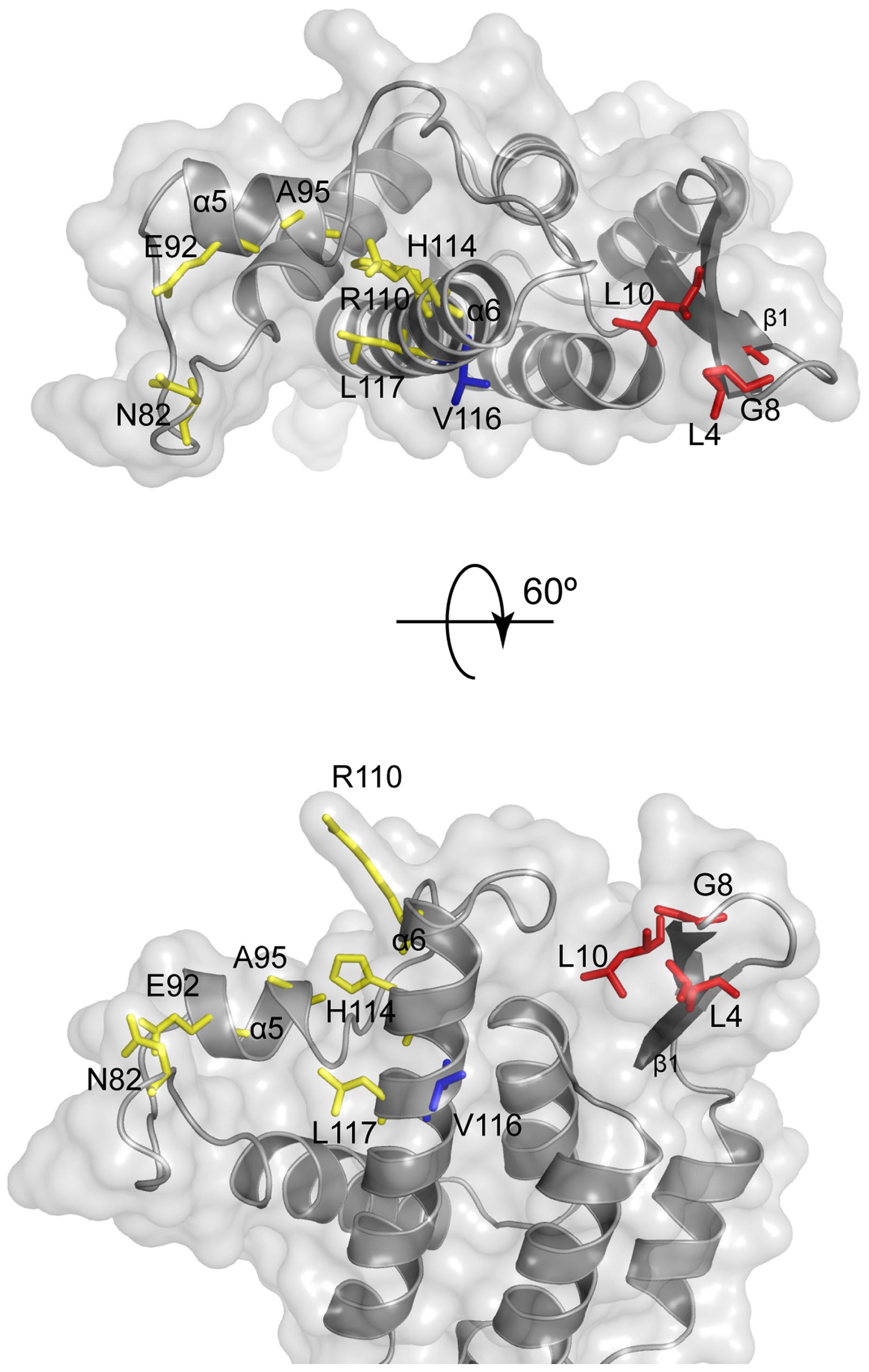 Location of MLV restriction determinants.