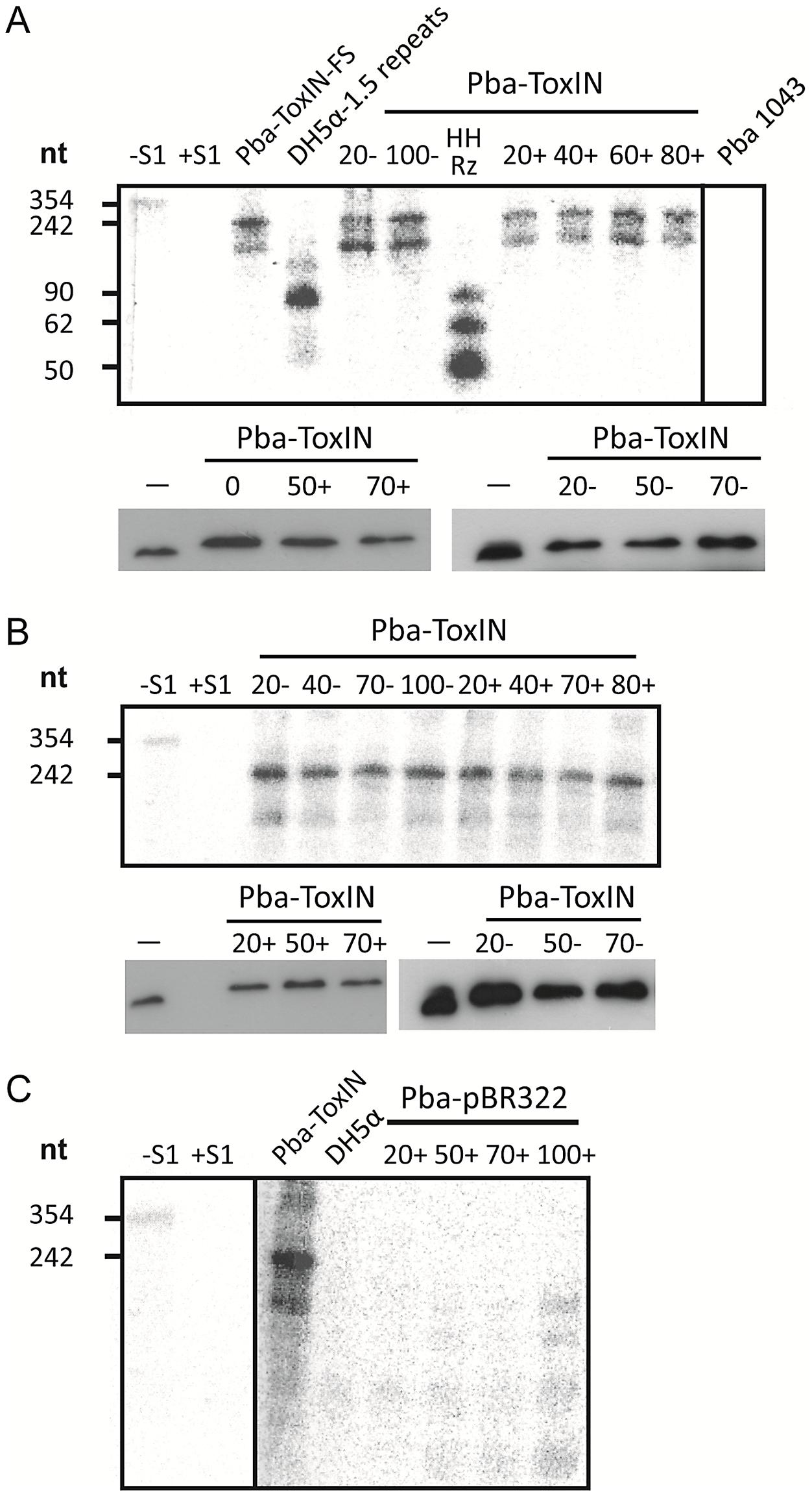 ΦTE-F expresses ToxI RNA during infection.