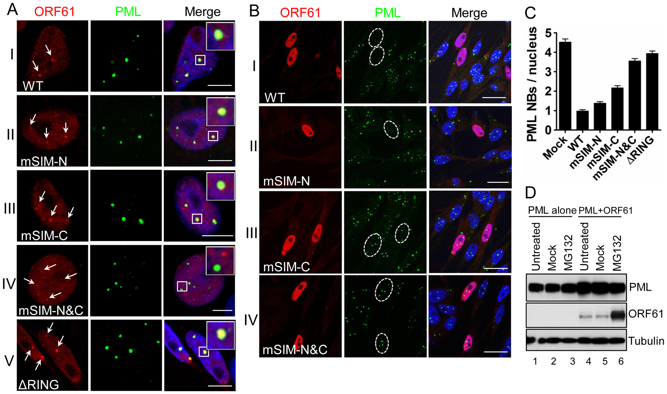 ORF61 SIMs are essential for ORF61 association with PML NBs and PML NB disruption in transfected cells.