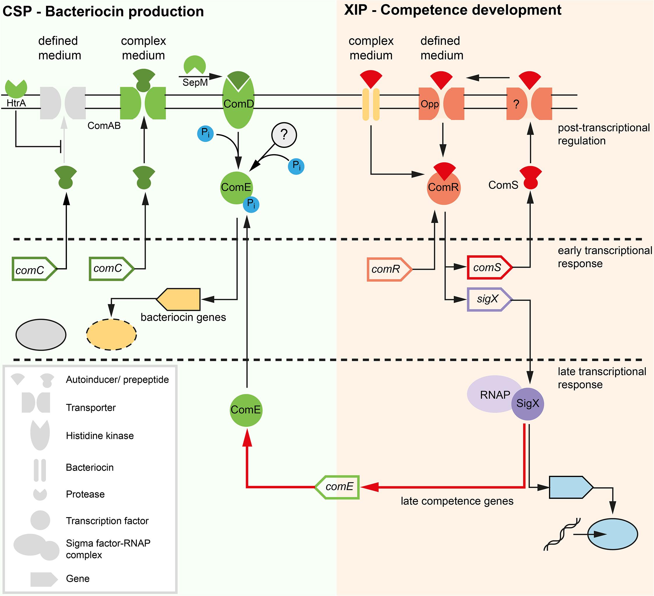 Model of competence development in <i>S</i>. <i>mutans</i>.