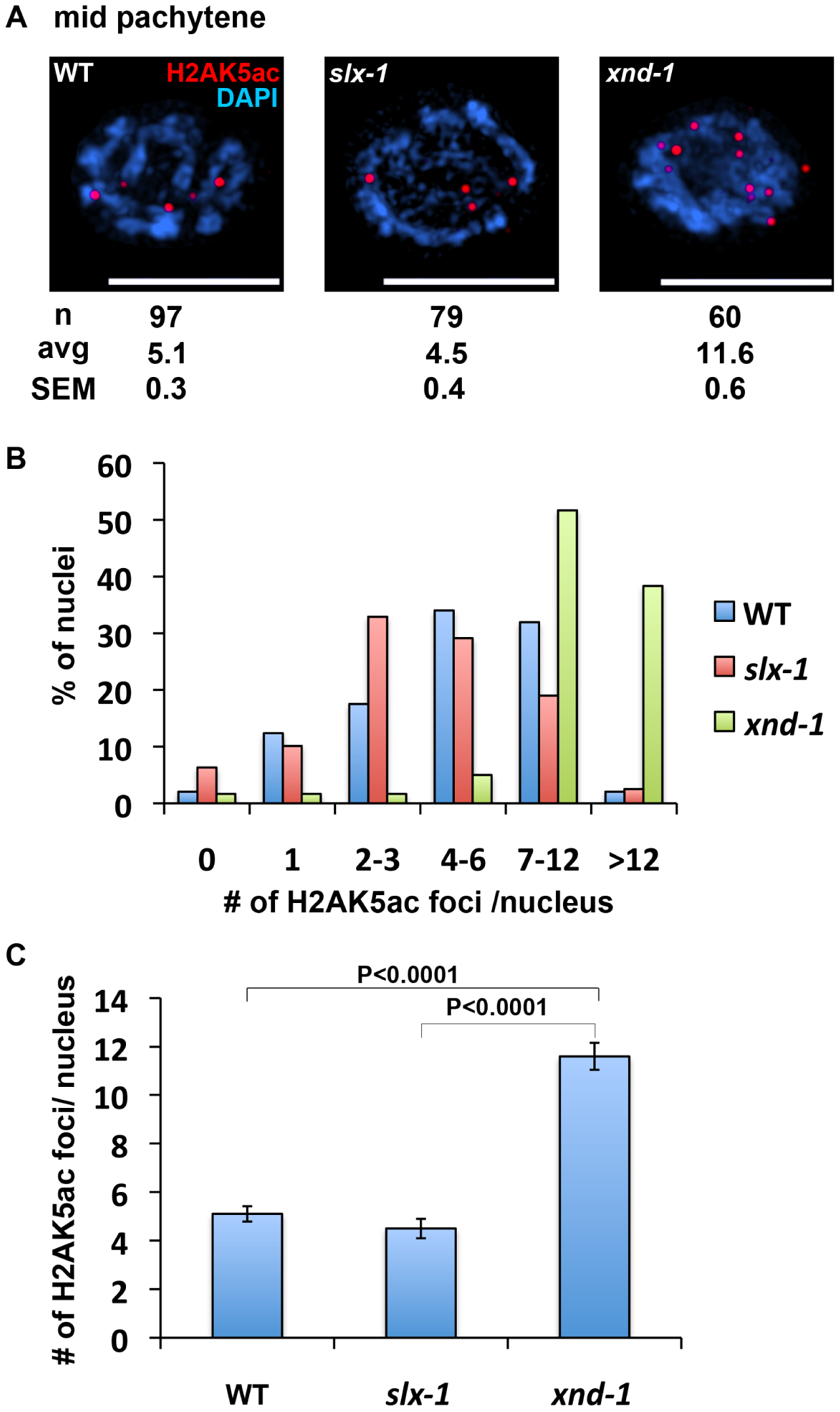 The levels of H2AK5ac are similar between wild type and <i>slx-1</i> mutants.