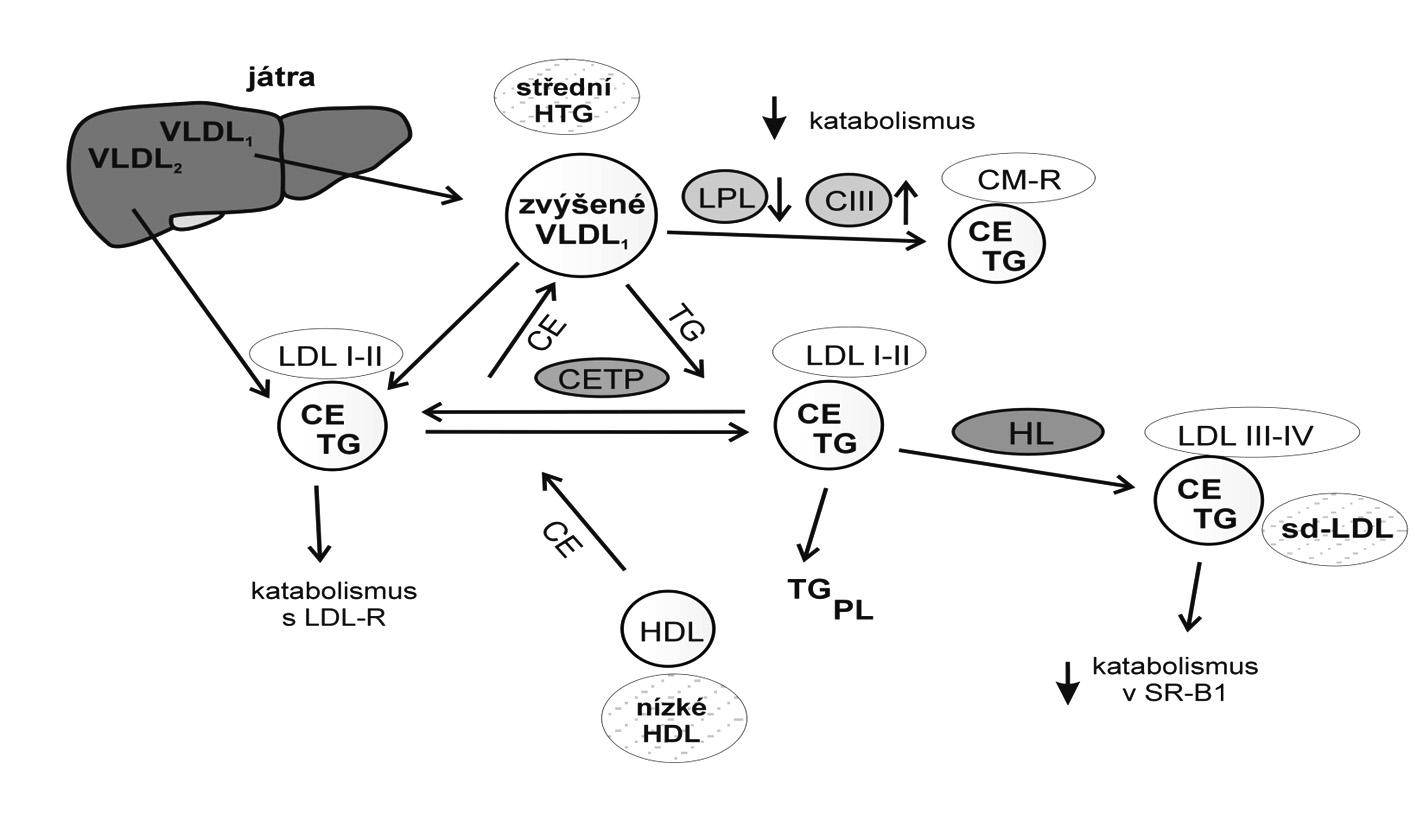 """Mechanismus vzniku malých denzních LDL Nejvýznamnějšími metabolickými prediktory převahy sd-LDL jsou hypertriglyceridémie a zvýšená aktivita jaterní lipázy. Vztahy mezi koncentrací triglyceridů a vznikem fenotypu B velikosti LDL lze vysvětlit částečně mechanismem výměny a přenosu neutrálních lipidů, tj. triglyceridů (TG) a esterů cholesterolu (CE). Za nízkých plazmatických koncentrací TG existuje ekvimolární výměna CE z LDL do CM a VLDL a TG z VLDL a CM do LDL. U HTG dojde k převaze přenosu TG do LDL; TG v částicích LDL jsou hydrolyzovány HL za vzniku malých denzních LDL (sd-LDL) (LDL-III a LDL-IV). VLDL1 – """"velké HTG"""" VLDL (Sf 100–400), VLDL2 – """"normolipidemické"""" VLDL (Sf 60–100), LPL – lipoproteinová lipáza, CIII – apo CIII, CE – estery cholesterolu, TG – triglyceridy, PL – fosfolipidy, CM – chylomikrony, HDL – lipoprotein o vysoké hustotě, LDL – lipoprotein o nízké hustotě, LDL I–IV – subfrakce LDL, HL – jaterní lipáza, CETP – transferový protein esterů cholesterolu, HTG – hypertriglyceridémie"""