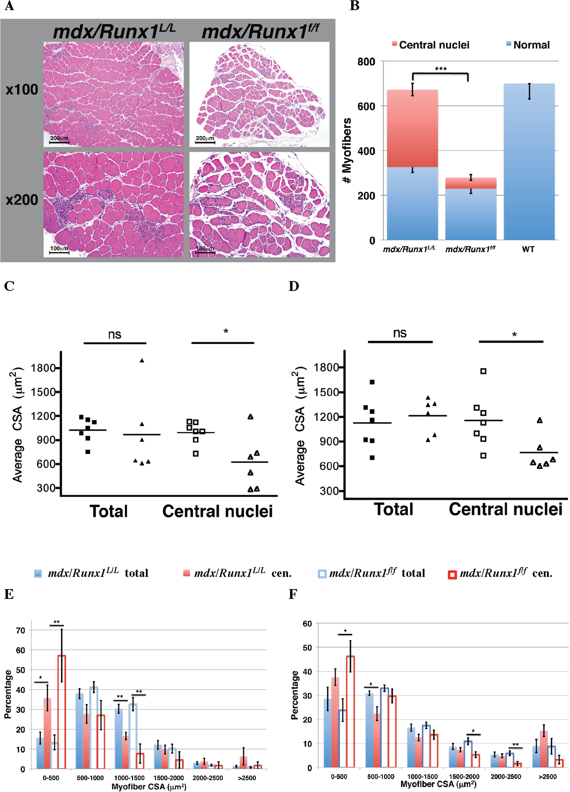 Loss of Runx1 in <i>mdx</i> mice resulted in reduced muscle regeneration.