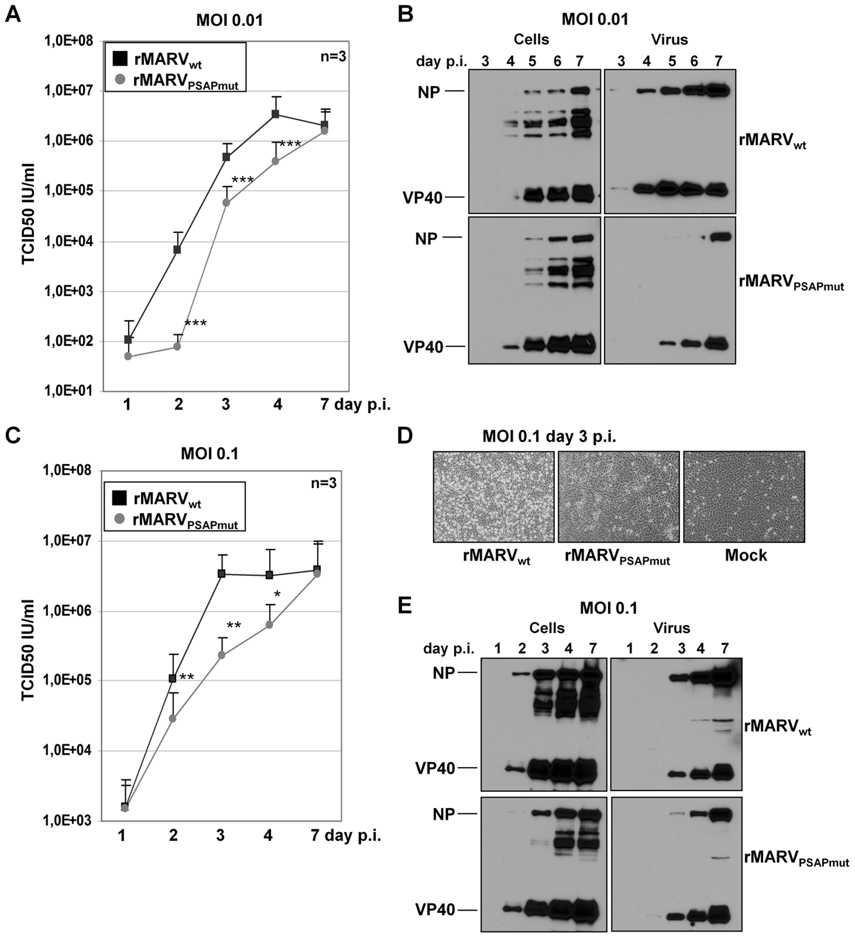 rMARV<sub>PSAPmut</sub> exhibits delayed growth kinetics.