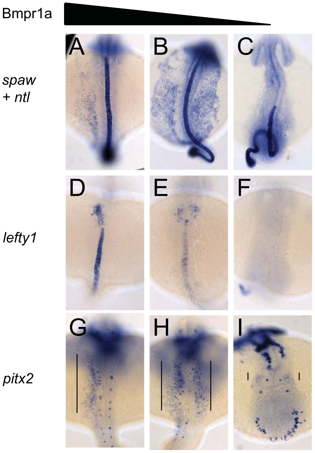Dose-dependent effect of Bmpr1a on the expression of laterality genes.