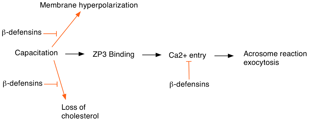 Events at egg fertilization and the possible roles of ß-defensin proteins in regulating this process.