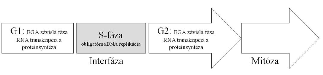 Schematické znázornenie základných fáz bunkového cyklu u mitoticky sa deliacich buniek. Dĺžka bunkových cyklov u včasných embryí je ovplyvňovaná: A. špecifickými dejmi v postfertilizačnom období, tj. ukončenie 2. meiotického delenia oplodnených oocytov, migrácia/rotácia prvojadier a zmiešavanie maternálnych a paternálnych chromozómov, B. transkripčnou a proteinsyntetickou aktivitou, ktorá sa objavuje postupne s aktiváciou embryonálneho genómu v priebehu 3. a 4. bunkového cyklu