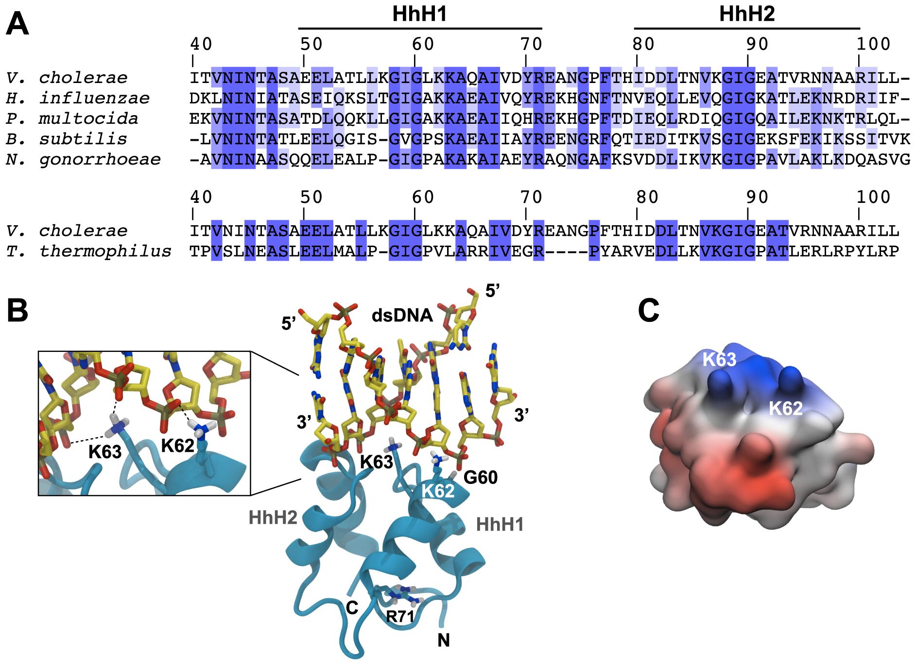 <i>In silico</i>-prediction of the ComEA-DNA complex.