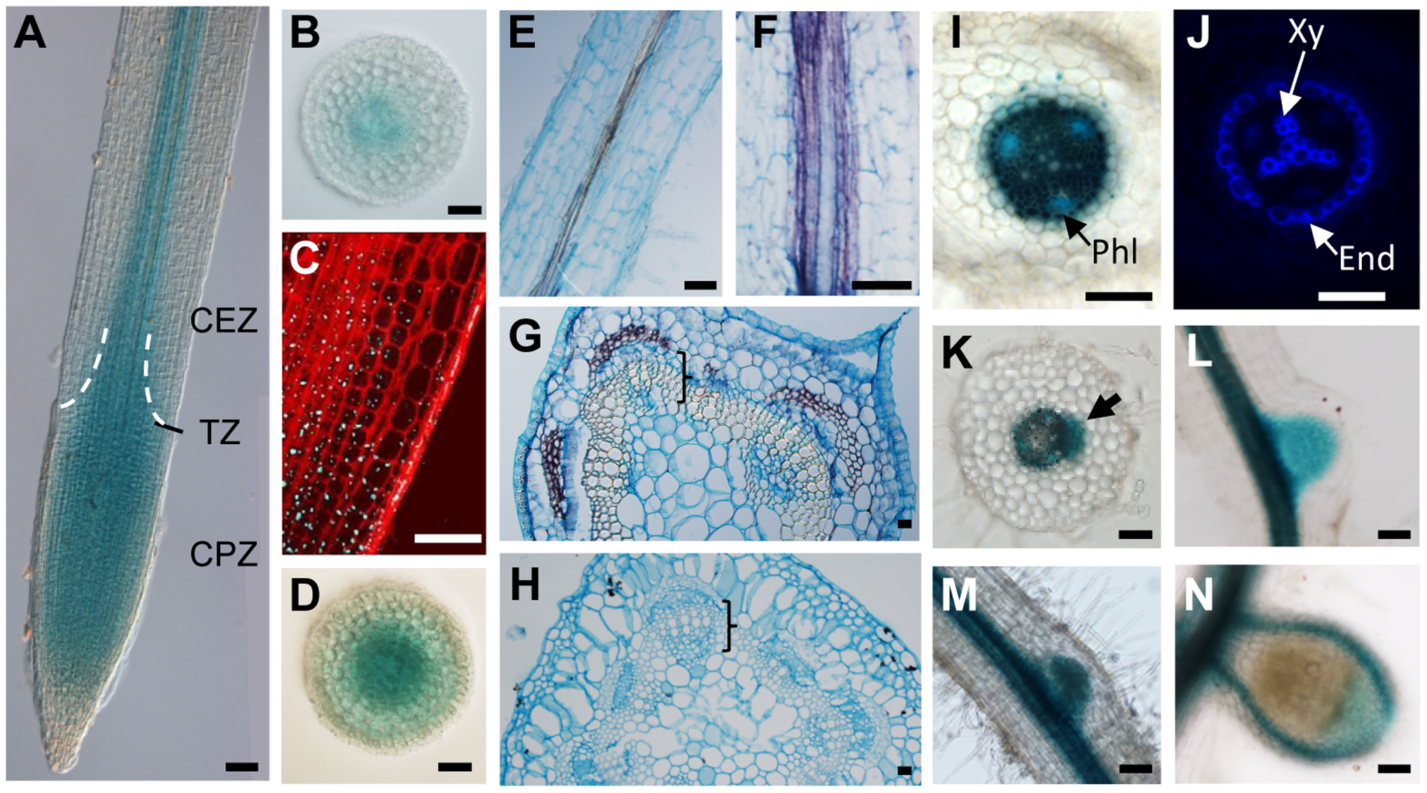 <i>CRA2</i> expression in the shoot, root and symbiotic nodules.