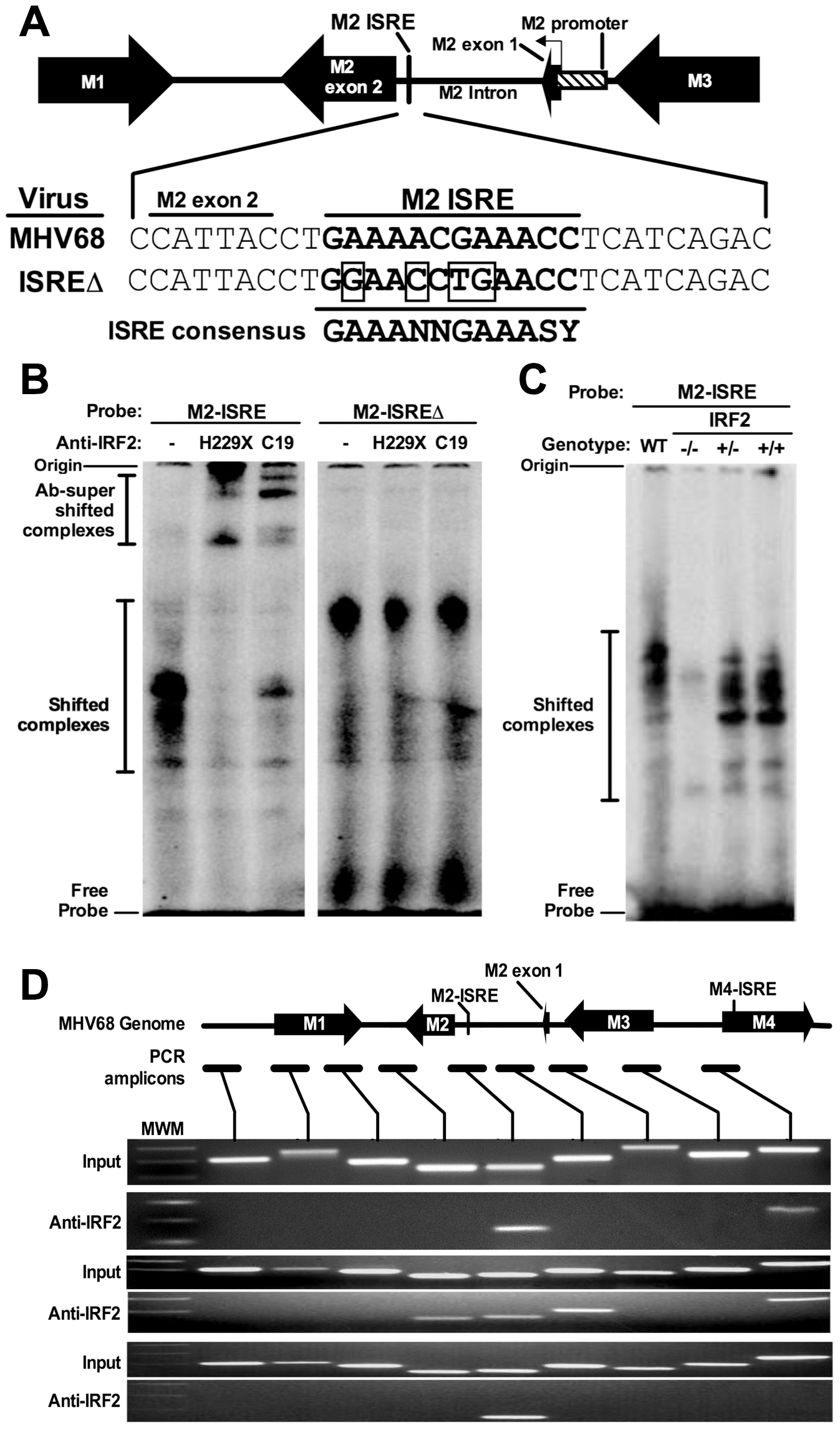 The M2 ISRE binds IRF2 <i>in vivo</i> during latency.
