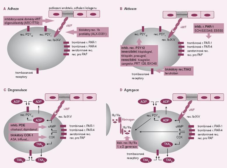 1A–1D. Místa působení protidestičkových léků v jednolivých fázích primární hemostázy.