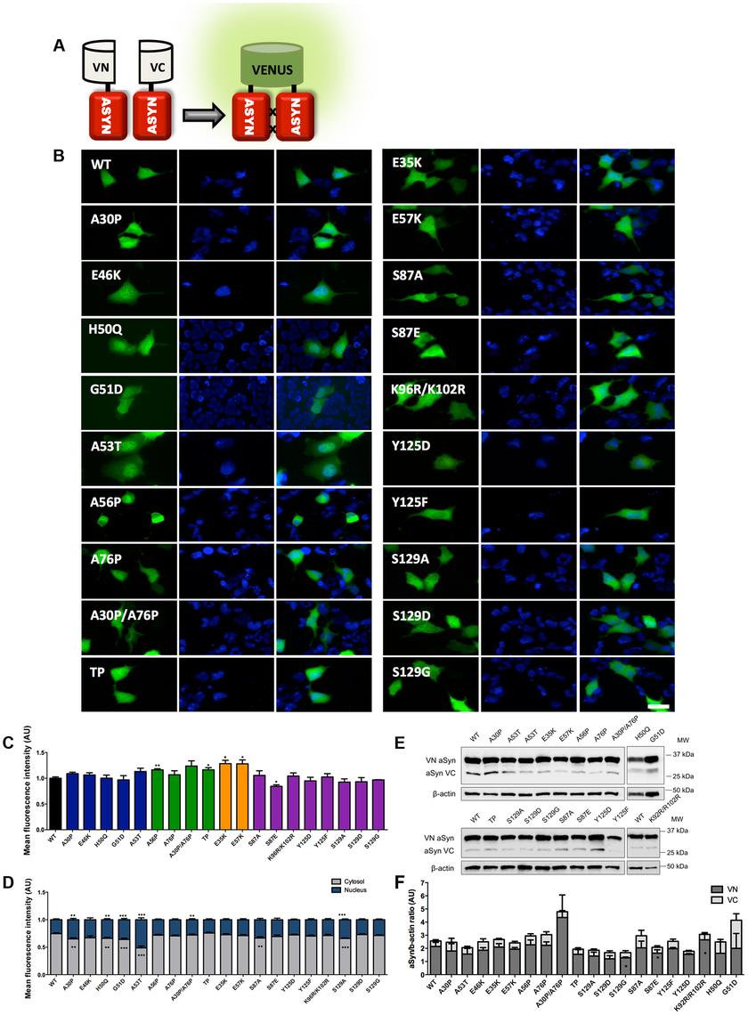 Mutations effect on ASYN oligomerization.