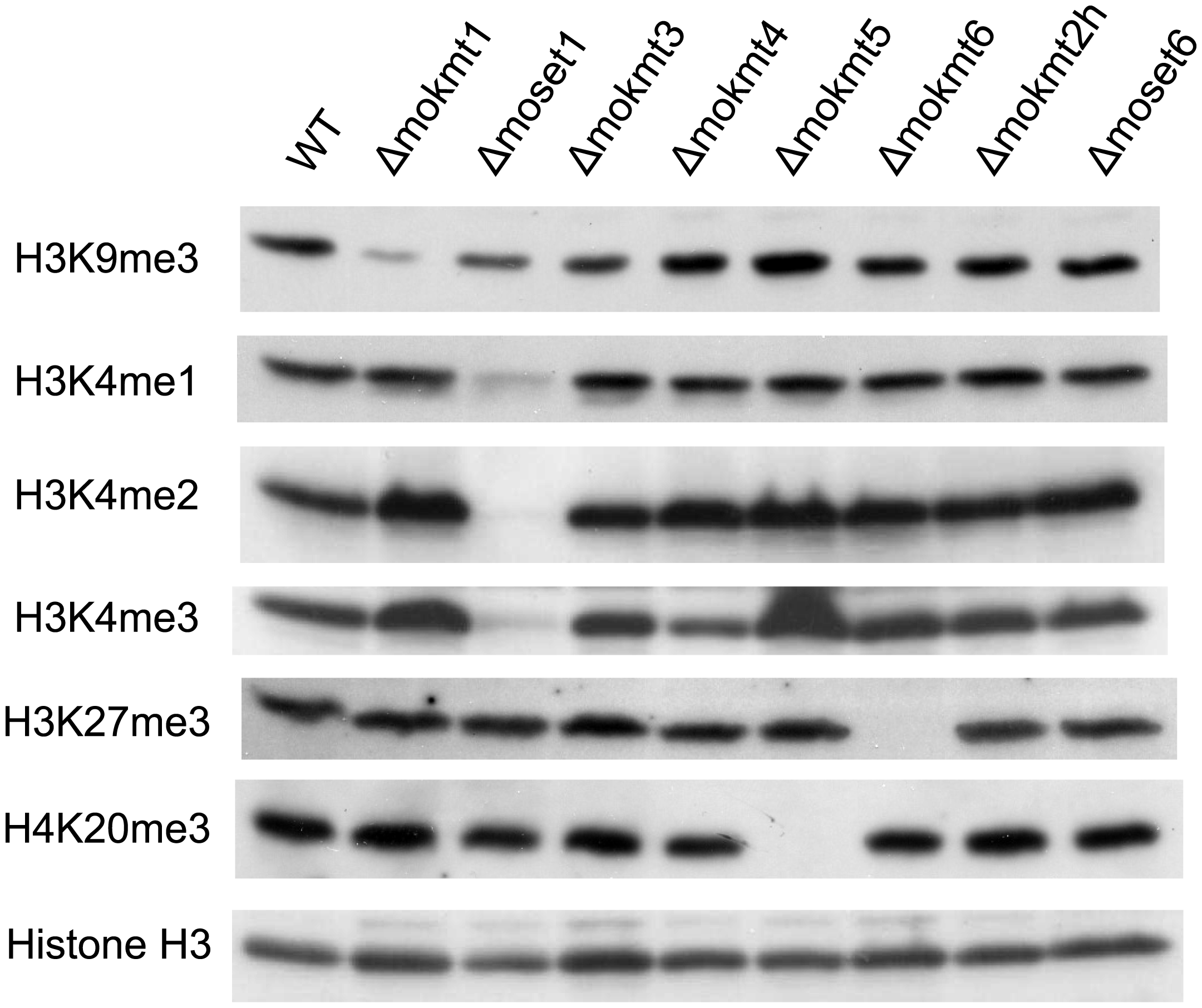 Western blotting analysis of histone modifications in KMT mutants.